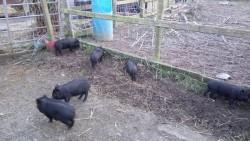 Pot belly piglets for sale
