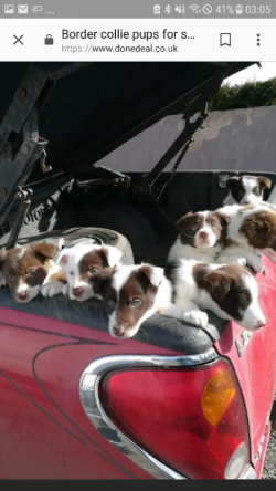 Collie pups