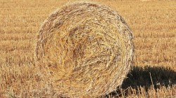 bedding straw for sale