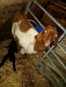 Red and white goat with black ewe lamb
