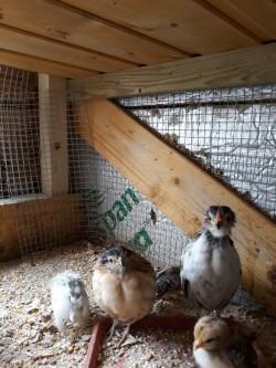 D'anvers chicks