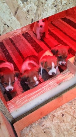 Jack Russells Pups For Sale