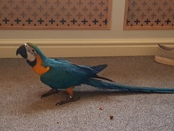 Blue And Yellow Mccaw 12 Months Old