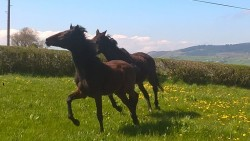 mare & foal for sale