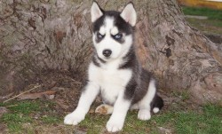 a stunning litter of 6 chunky Siberian husky pups for sale