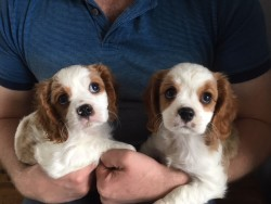 registered cavalier king charles pups