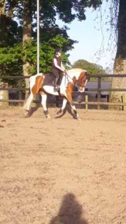 15.2hh Allrounder Competition Horse