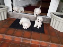 Bishon Frise pups