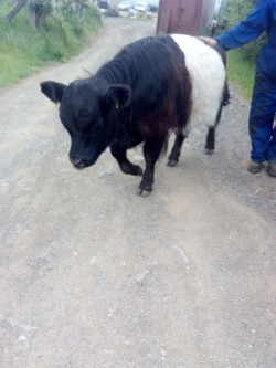 Belted Galloway / Beltie Bull Calf 12 Mths Old