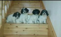 Cavachon puppies (bichon frise x cavalier king charles)