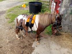 Shetland Diving pony gelding