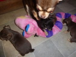 11 Weeks Old Domestic Letters of ( 4 ) Chihuahua Puppies Ready For Good Home