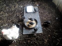 Cuckoo Maran Chicks