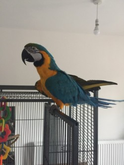 2 Year Old Baby Macaw