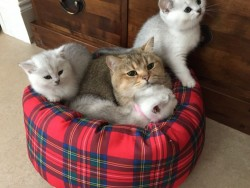 Beautiful Silver Tipped British Shorthair Kittens
