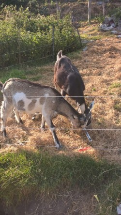 2 male kids goats