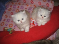 Persian Kittens Available now for sale