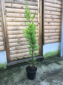 CUPRESSUS MACROCARPA HEDGING OR ORNAMENTAL TREES