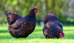Athenry Poultry Sale
