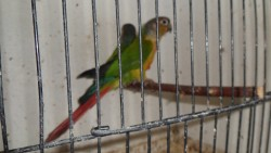Conures (yellow sided)