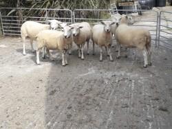 6 x Pedigree Registered  Lleyn Ewes