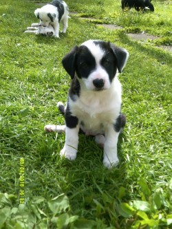 3/4 bred Collie1/4 Springer Spaniel Pups now available for rehoming.