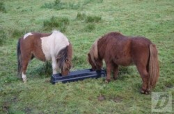two Shetland ponies for sale