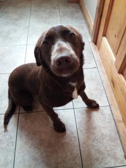 Cocker spaniel/ Collie pup