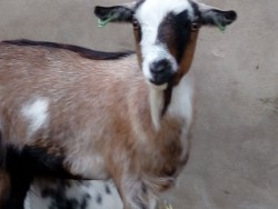 Pygmy goats for sale (female)