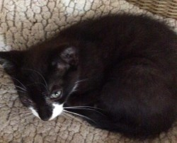 Cotton a wee kitten is looking for a safe loving home