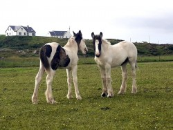 Heavy cob foals.