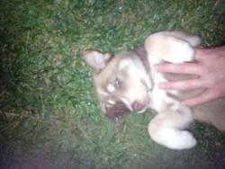 BEAUTIFUL Siberian Husky puppy!