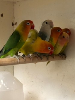For Sale: Mutation Pennant pairs and Love birds