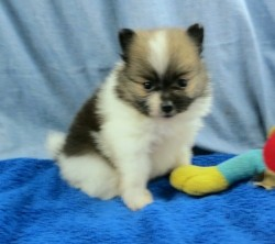 Absolutely adorable pomeranian boy looking for a new hom