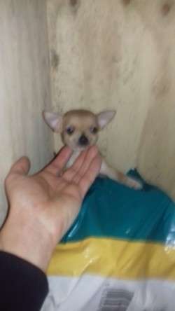 3 chihuahuas( cream boy reserved deposit taken)