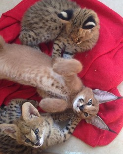 exotic caracal, savannah and serval kittens