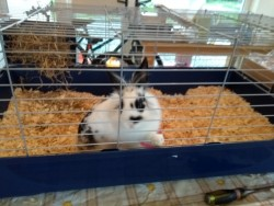 Rabbit for sale 13 weeks old with cage