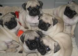 Pedigree fawn pug puppies