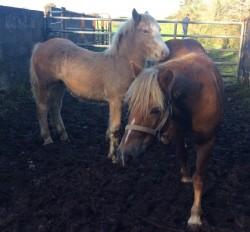 Mare and foal for sale
