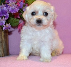 Ready To Leave Beautiful Bishon Frise Puppies