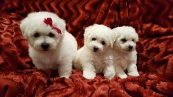 Gorgeous small Maltese puppyes ready