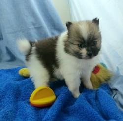 Pure Snow White Pomeranian Baby Girl Periwinkle