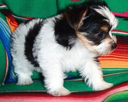 Beautiful Yorkshire Terrier Puppies Colorfull