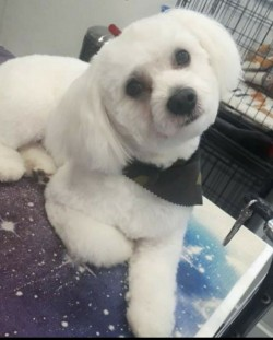 Bichon Frise available for stud