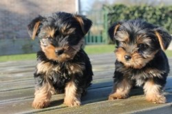 Adorable Yorkshire Terriers Puppies
