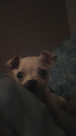 Male Chihuahua for sale