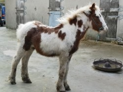 Red and white Colt foal.