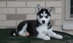 Urgently,beautiful Husky Girl Looking For New Home
