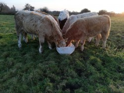 6 Weanling Heifers for sale