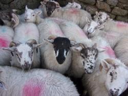 Crossbred ram lambs (36)